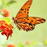 orange butterfly for the sacral chakra