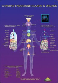 chakras, endocrine system, organs